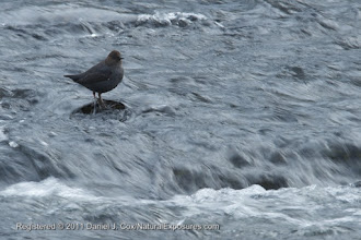 Photo: American Dipper (Cinclus mexicanus), also known as a Water Ouzel fishing the warm winter waters of the Firehole River, Yellowstoen National Park, Wyoming.