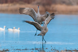Photo: Sandhill cranes disagreeing.