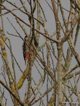 Photo: A Greater Spotted Woodpecker - from a distance and somewhat hidden!
