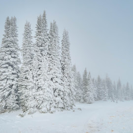 Long Line of Wintry Trees by Chad Roberts - Nature Up Close Trees & Bushes ( wind, winter, cold, snow, trees, fir tree,  )