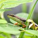 Oriental Long-Tailed Grass Lizard