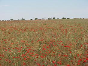 Photo: Poppies on the road to Tordesillas