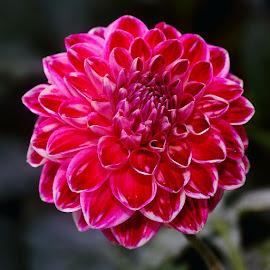 Dalhia n000134c by Gérard CHATENET - Flowers Single Flower