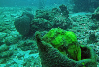 """Photo: Longlure Frogfish - you can see the """"lure"""" extending up from its """"nose"""""""