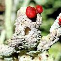 Red hat lichen