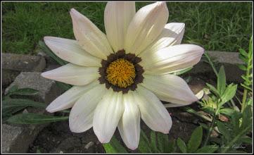 Photo: Floarea comoară, Gazania-margaretă (Gazania spp) - din Turda,  Piata 1 Decembrie 1918, parc - 2019.06.06