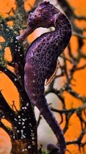 Mořský Koník Živé Tapety - náhled
