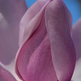 Magnolia Blossom by Janet Marsh - Flowers Single Flower ( magnolia,  )