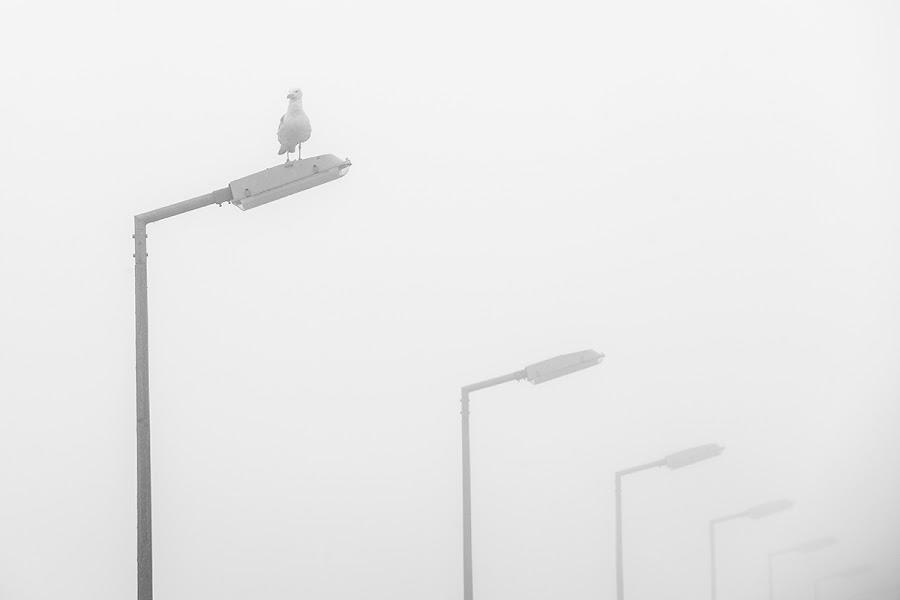 Seagull in fog by Robert Luca - Animals Birds