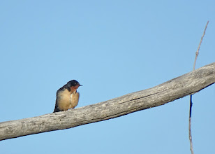 Photo: Adult Barn Swallow