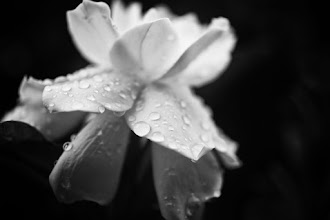 Photo: goodnight folks, its been a long week, hope you all have a restful weekend :)  #bwphotography  #floralfriday  #floralphotography  #monochrome  #monochromeworld