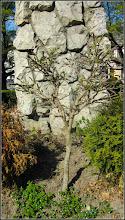 Photo: Glicina (Wisteria sinensis) - din spatiul verde din fata Catedralei - 2017.04.15