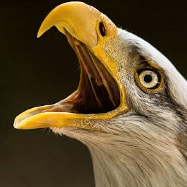 as close as it gets by Jeff White - Uncategorized All Uncategorized ( nikon, eye, beak, bird of prey, feathers, bird, eagle, bald eagle, portrait,  )