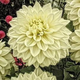 AYLI dahlia 96 18 by Michael Moore - Flowers Flower Gardens