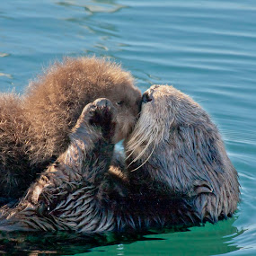 Mother's Love by Manuel Balesteri - Animals Other Mammals ( love, swim, whiskers, fur, sea otter, ocean, mammal )