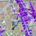 Anna's Hummingbird ♀