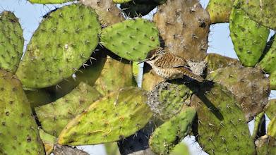 Photo: Boucard's wren.