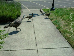 Photo: So fun to feel grateful for the turkeys crossing my path at LCC.
