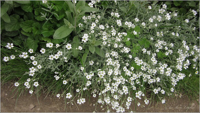 Photo: Lâna caprelor (Cerastium tomentosum)  - din Turda, Str. Mihai Eminescu  - 2019.05.20