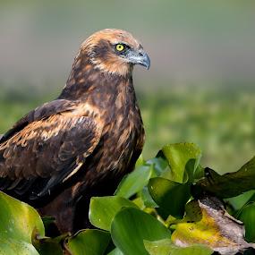 Western Marsh-Harrier (Circus Aeruginosus) by Rahul Chakraborty - Animals Birds (  )