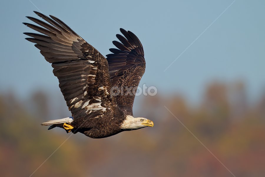 Bald Eagle in Flight by Herb Houghton - Animals Birds ( eagle )