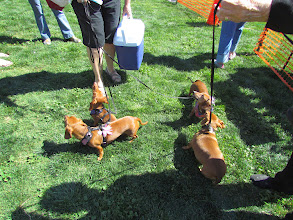 Photo: More than 100 wiener dogs raced at Turf Paradise march 15th for Wiener Mania. Photo by Turf Paradise