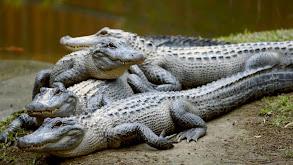 Robert's Alligator Feeding Frenzy thumbnail