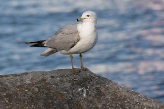 Photo: Ring-billed Gull (Ringschnabelmöwe); Kingston, ON