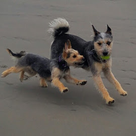 by Lifes A Beach - Animals - Dogs Playing