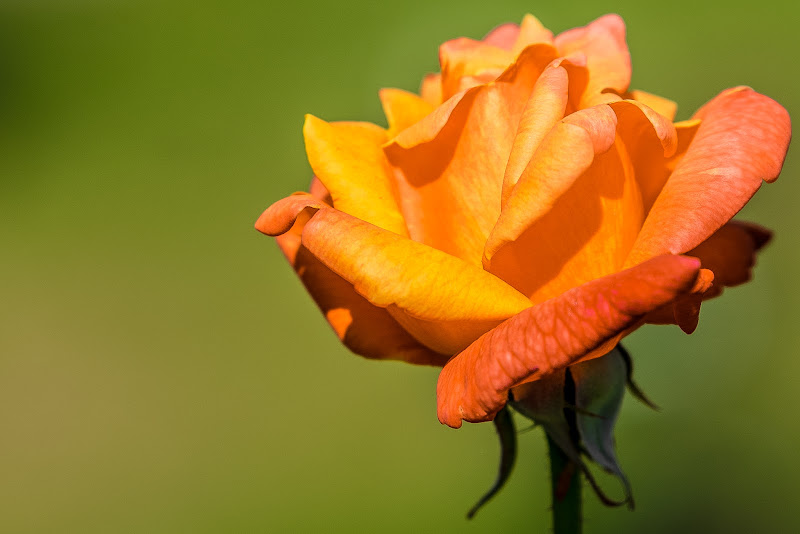 Rosa Bicolore di servi_marco