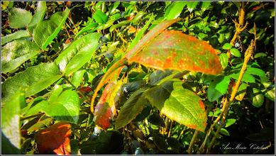 Photo: Mahonia (Mahonia aquifolium) - din spatiul verde al Catedralei - 2016.09.10