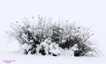 Photo: Binsen im Winter
