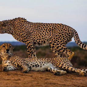 Cheetah brothers at dusk by Chris Seaton - Animals Lions, Tigers & Big Cats ( cheetah, big cats, africa, dusk, brothers,  )