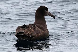 Photo: Black-footed Albatross
