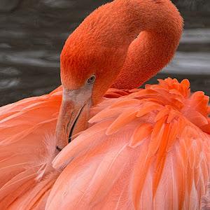 Flamingo SA Zoo.jpg