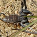 Madagascar black scorpion