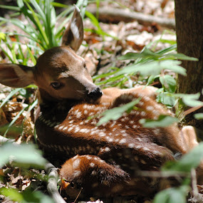 White tailed deer fawn different view by Eddy Dufault - Animals Other Mammals (  )