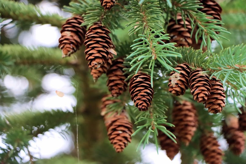 Szybki wzrost świerka sprawia, że drewno jest stosunkowo miękkie i elastyczne.