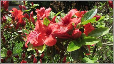 Photo: Azalee (Rhododendron) - din Piata Republicii - 2017.05.10