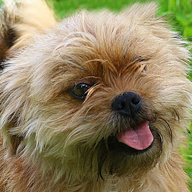 Cheeky Gizzy by Chrissie Barrow - Animals - Dogs Portraits ( lhasa apso cross, tongue, pet, fur, pink, dog, nose, cream, tan, portrait, eyes )