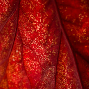 Fire by Pedro Barreiros - Nature Up Close Leaves & Grasses ( red, nature, leave, texture, square, pmbarreiros, veins, fire )