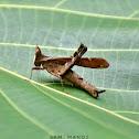 Monkey Grasshopper (फट्याङग्रा)
