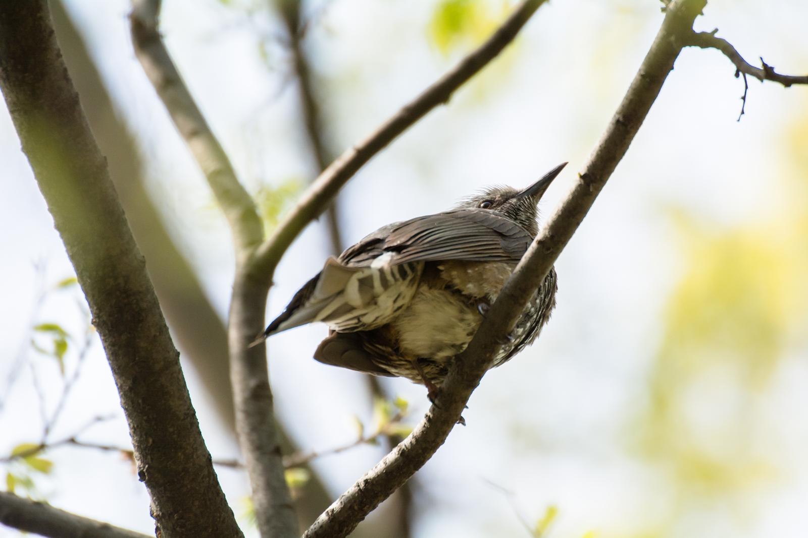 Photo: 緑輝く Shines green.  柔らかな緑たちに 陽の恵みがそそぐ 活き活きと輝き ざわわざわわと騒ぎ出す  Brown-eared Bulbul. (ヒヨドリ)  #cooljapan #365cooljapanmay  #birdphotography #birds  #kawaii  Nikon D7100 SIGMA APO 50-500mm F5-6.3 DG OS HSM [ Day352, April 29th ]  小鳥の詩朗読 https://youtu.be/v_O7DQzLkHk?list=PL2YtHGm0-R3qVsaqvQe9OYdJFCkI98wzF