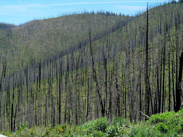Burned trees