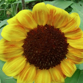 Sunflower by Catherine Dulaney ( Johns)  - Nature Up Close Flowers - 2011-2013 ( nature up close., sunflower, garden )