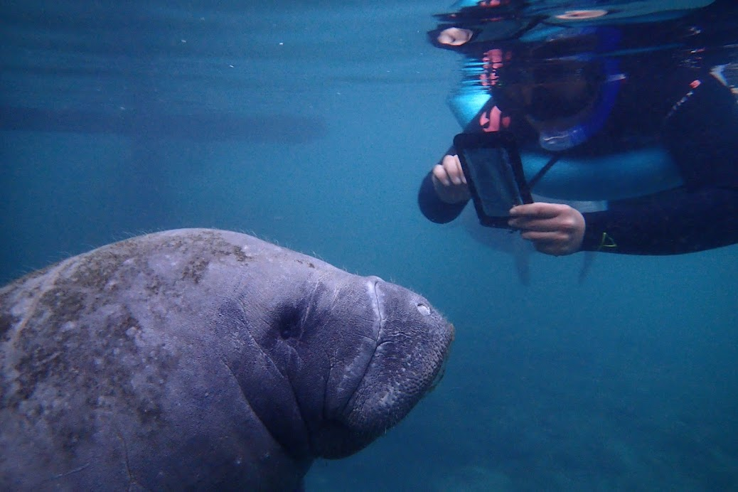 Hard to imagine, but manatees' closest living relative is the elephants.