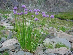 Photo: Kurumayı bekleyen önemli bir Allium türü.