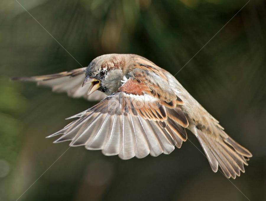 sparrow - passer by Dragomir Taborin - Animals Birds