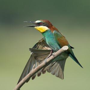 D:\01 GALERIJA FOTO\01 ptice\Čebelar - Rumenogrli čebelar - Merops apiaster\pixoto 2015\Merops-apiaster-320.jpg