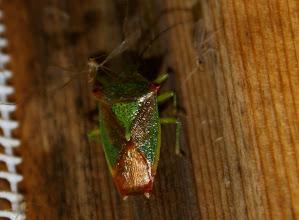 Photo: Acanthosoma haemorrhoidale    Heteroptera  > Acanthosomatidae